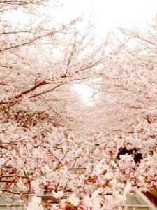 cherryblossomes